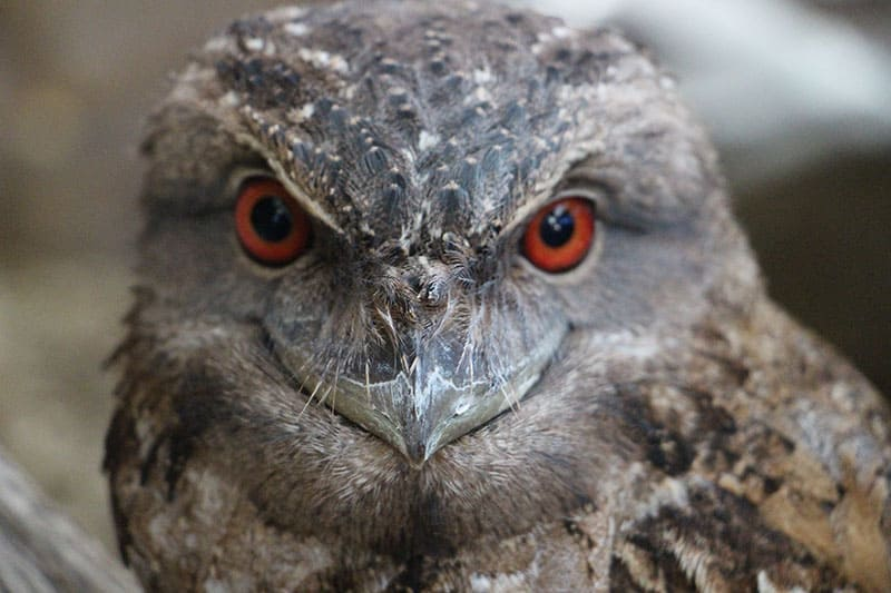 close up of papuan frogmouth with red eyes